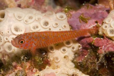 Trimma okinawae: Adult, Raja Ampat, Indonesia,  Photo: Andrew Green