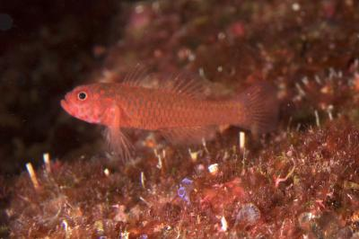 Trimma readerae: Adult, Imperieuse Reef,  Photo: Andrew Green