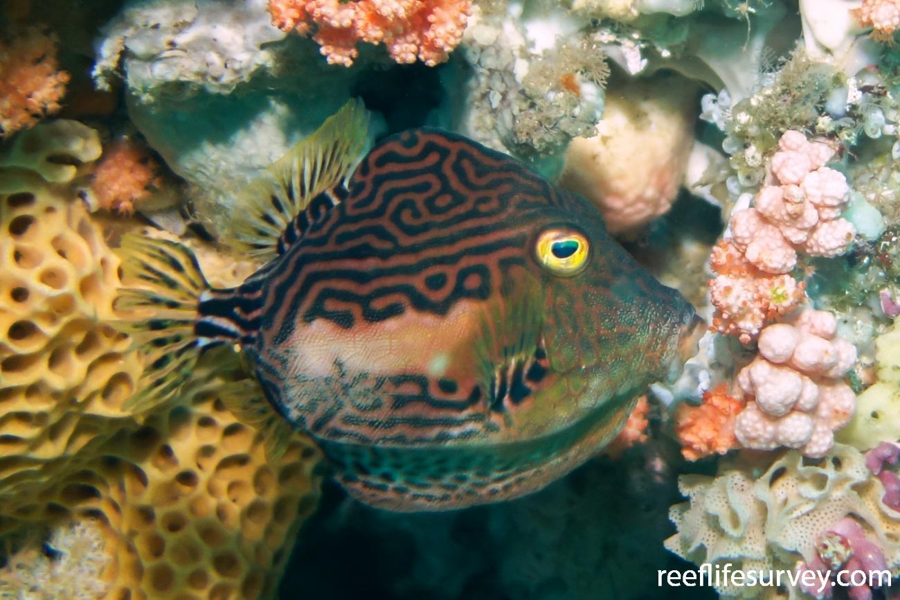 Caprichthys gymnura, Rottnest Is, WA,  Photo: Kevin Smith