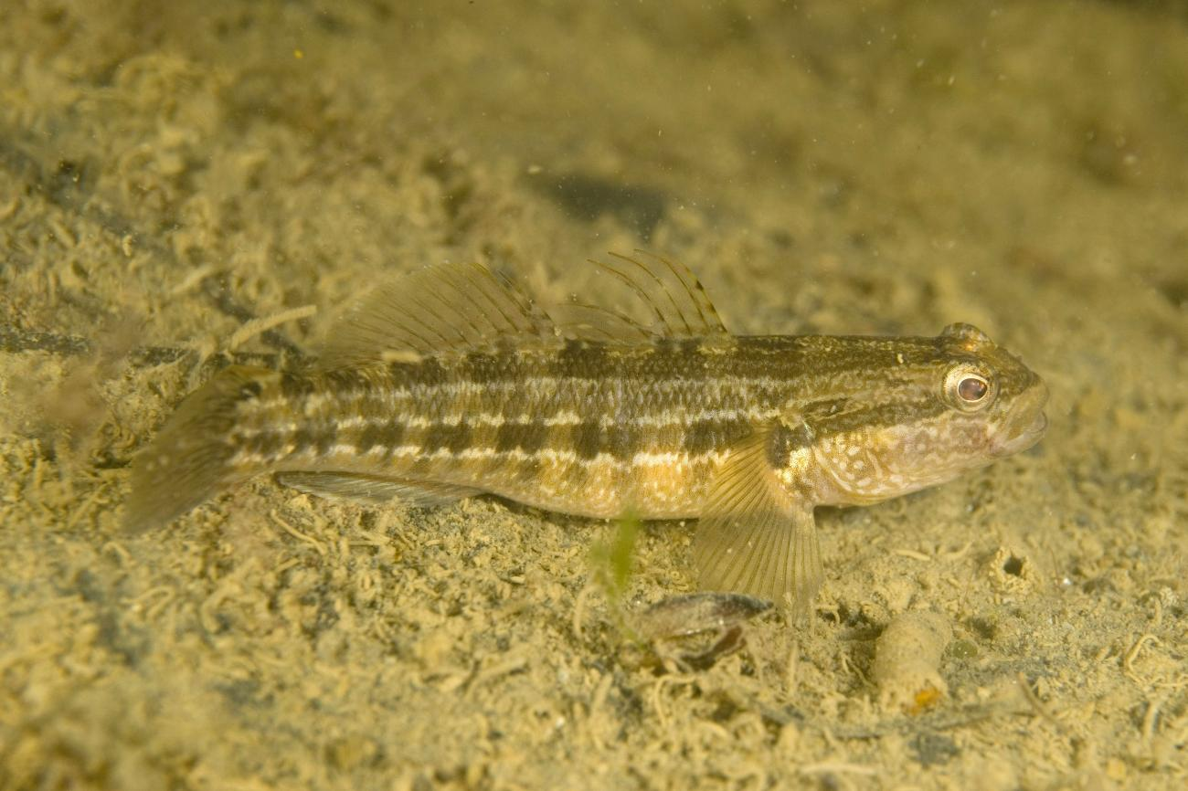 Tridentiger trigonocephalus, Adult, Geelong, Victoria,  Photo: Andrew Green