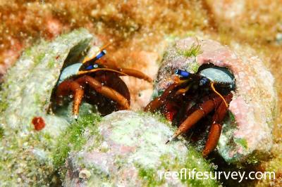Calcinus morgani: NSW, Australia,  Photo: Ian Shaw