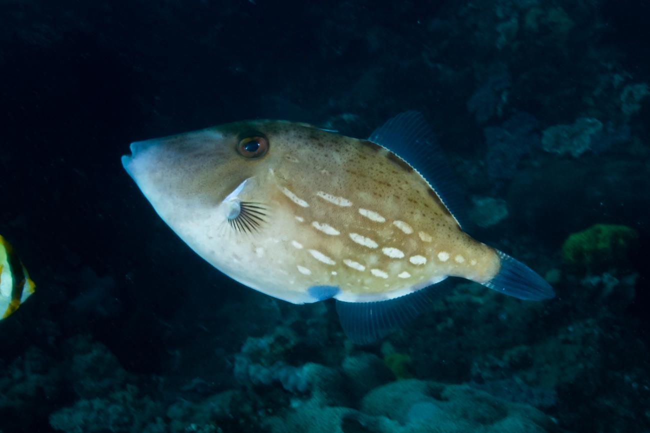 Thamnaconus analis, Lord Howe Is, NSW,  Photo: Rick Stuart-Smith