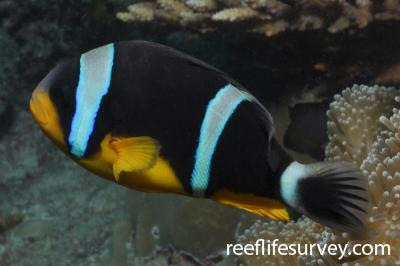 Amphiprion fuscocaudatus: Mahe, Seychelles,  Photo: Rick Stuart-Smith