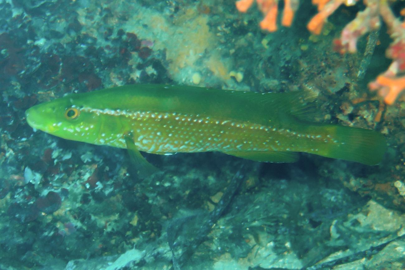 Labrus viridis,  Photo: Jose A. Sanabria-Fernandez