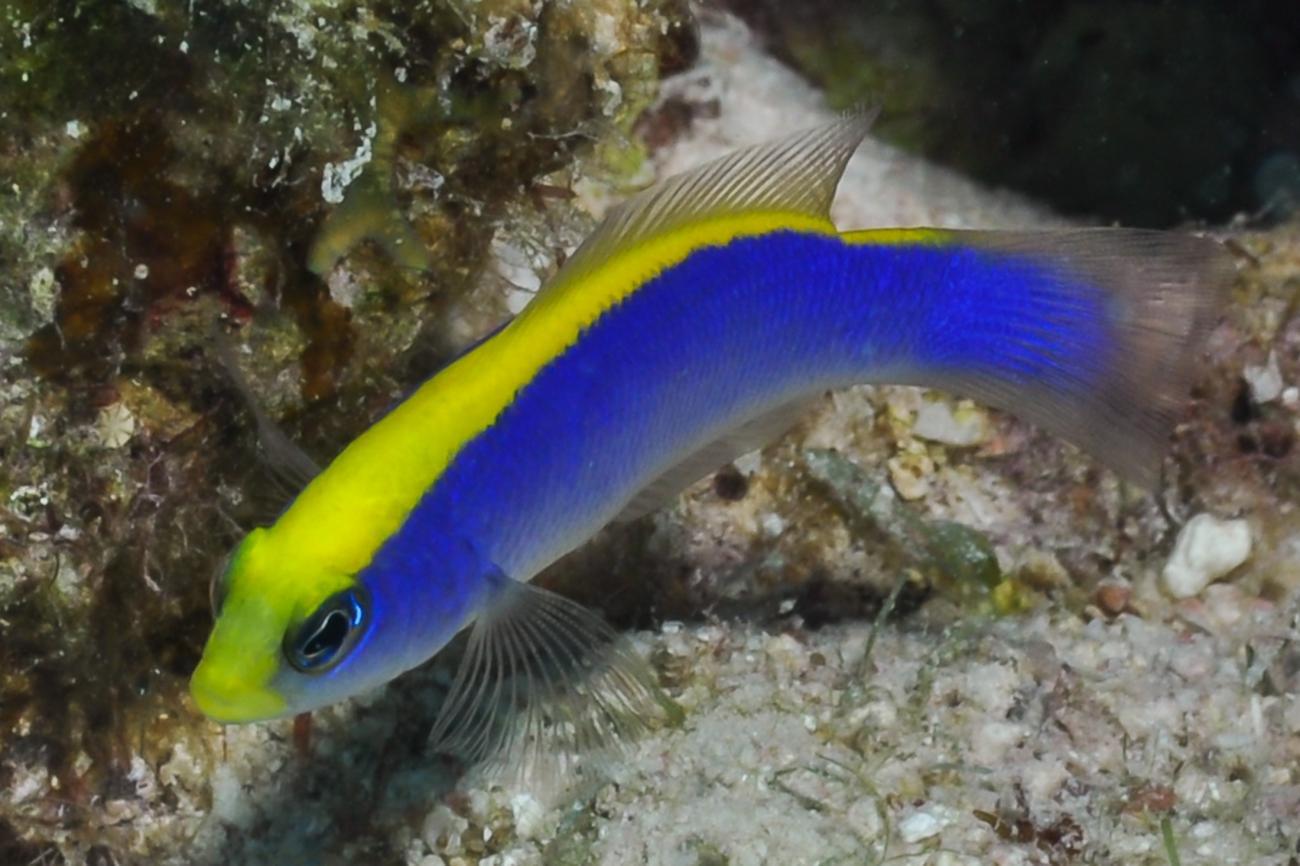 Pseudochromis flavivertex, Red Sea,  Photo: Rick Stuart-Smith