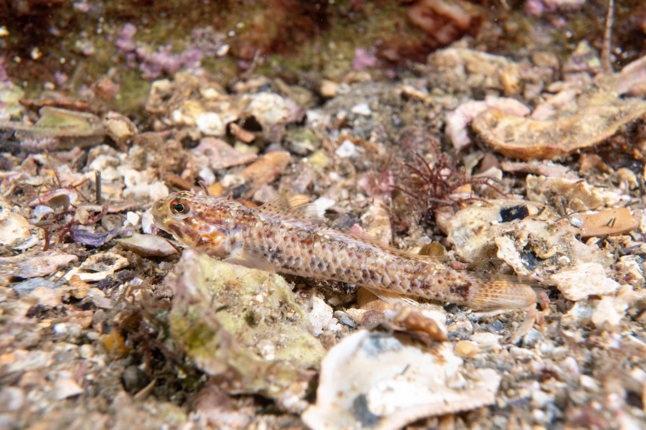 Istigobius hoesei, Adult, Camp Cove, NSW (possibly sick!),  Photo: John Turnbull