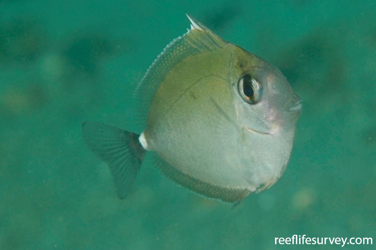 Naso annulatus, Juvenile, Nelson Bay, NSW,  Photo: Tom Davis