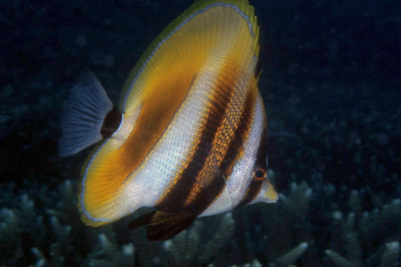 Coradion altivelis, Adult, Great Keppel Is, Qld,  Photo: Ian Shaw
