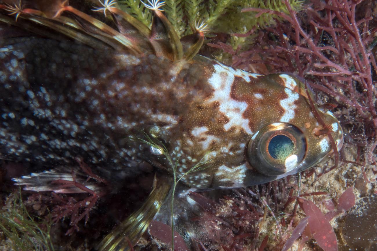 Chironemus maculosus, Norfolk Bay, TAS,  Photo: Rick Stuart-Smith