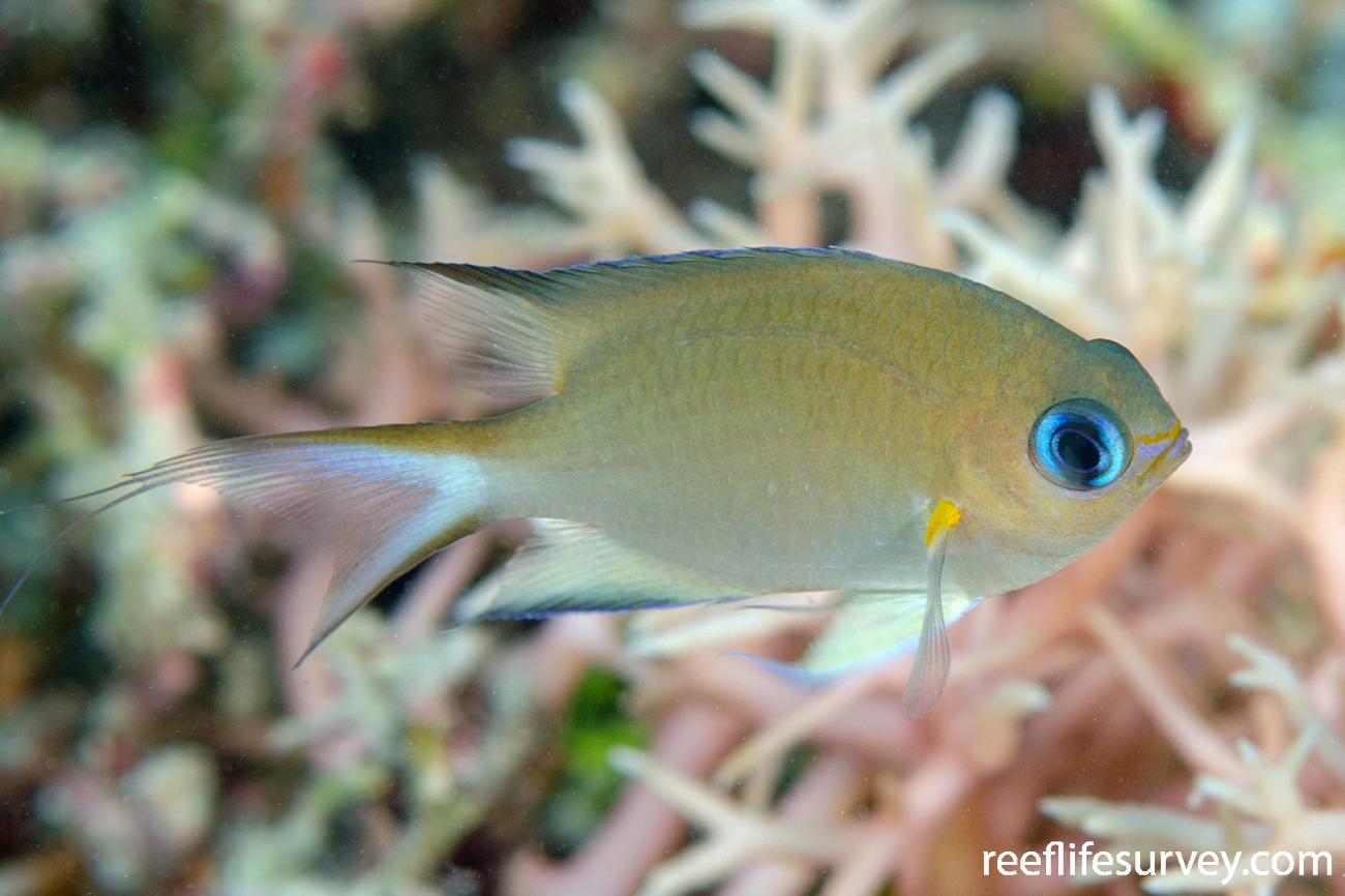 Chromis amboinensis, Adult, Ashmore Reef, WA,  Photo: Ian Shaw