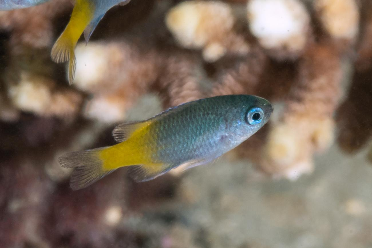 Neopomacentrus bankieri, Juvenile, Great Keppel Is, QLD,  Photo: Rick Stuart-Smith