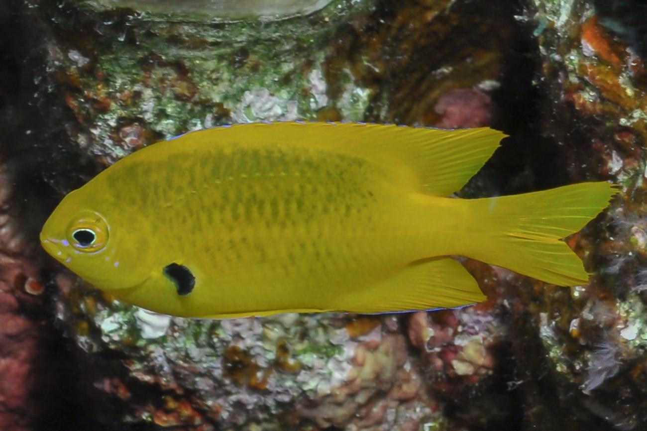 Pomacentrus sulfureus, Red Sea,  Photo: Rick Stuart-Smith