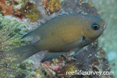 Chromis xutha: Tanzania,  Photo: Rick Stuart-Smith