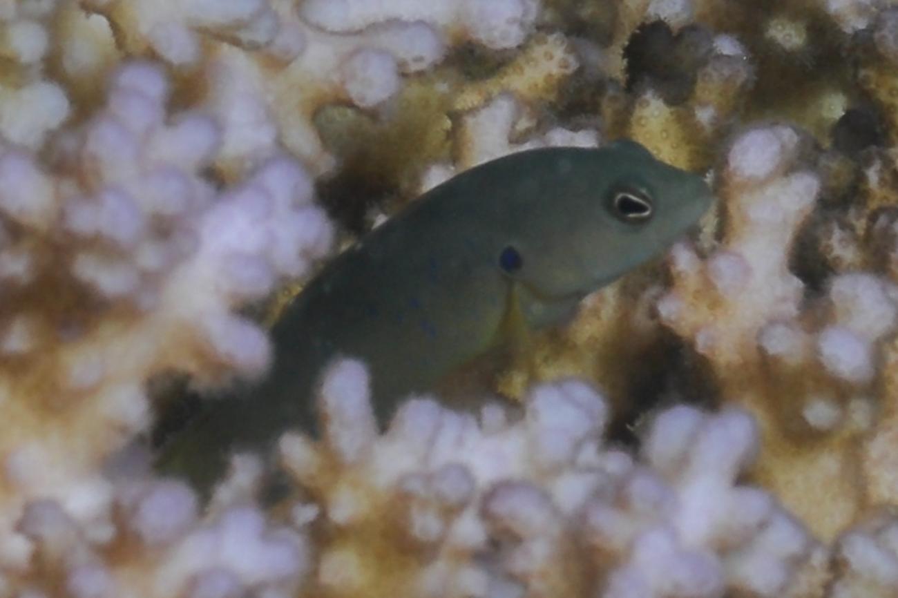 Pseudochromis olivaceus, Red Sea,  Photo: Rick Stuart-Smith