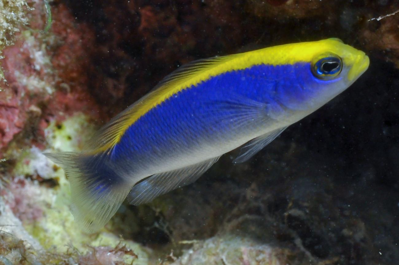Pseudochromis flavivertex, Red Sea,  Photo: Rick Stuart-Smith