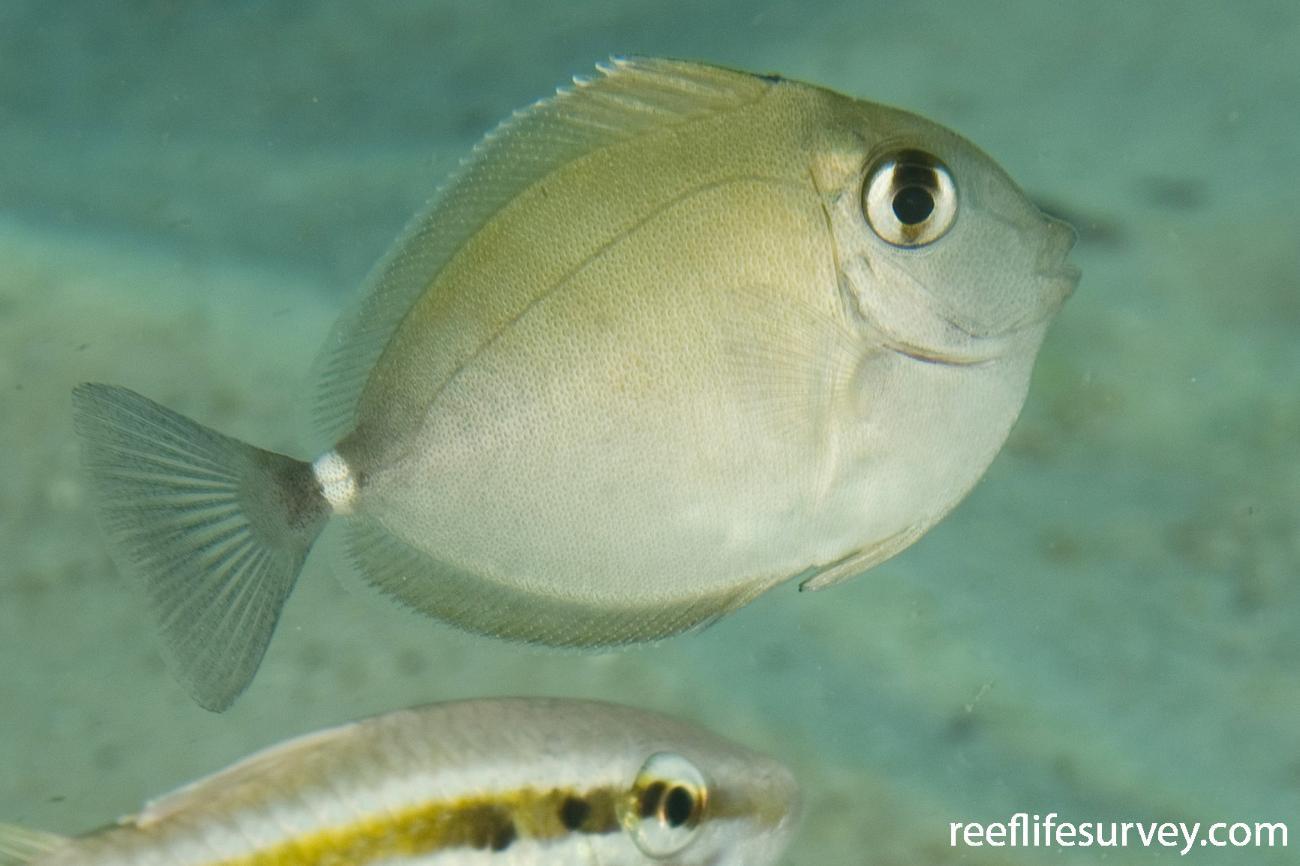 Naso annulatus, Juvenile, Jervis Bay, NSW,  Photo: Andrew Green