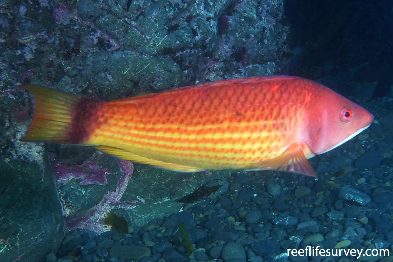Pseudolabrus miles, Male, Wellington, New Zealand,  Photo: Antonia Cooper