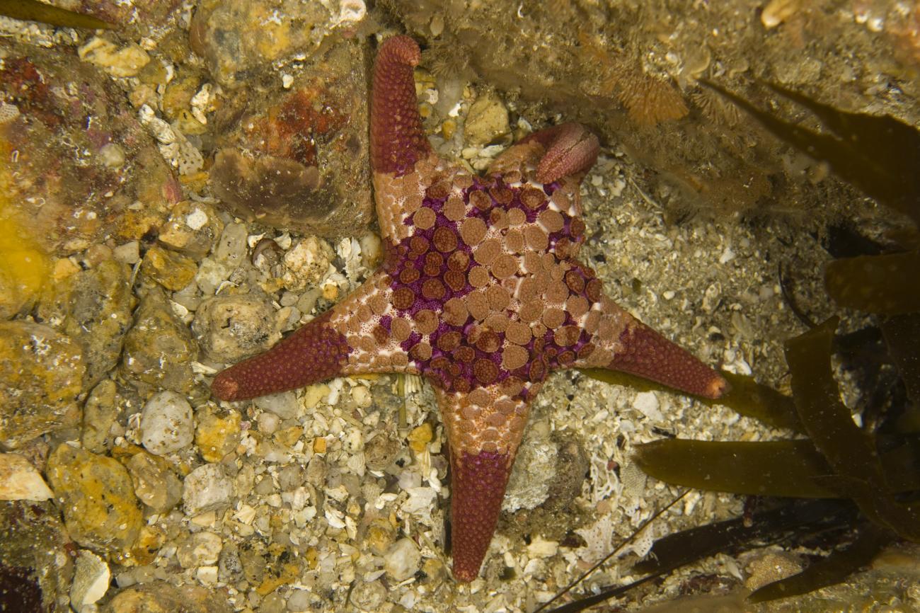 Nectria ocellata, Wilsons Promontory, Vic,  Photo: Andrew Green