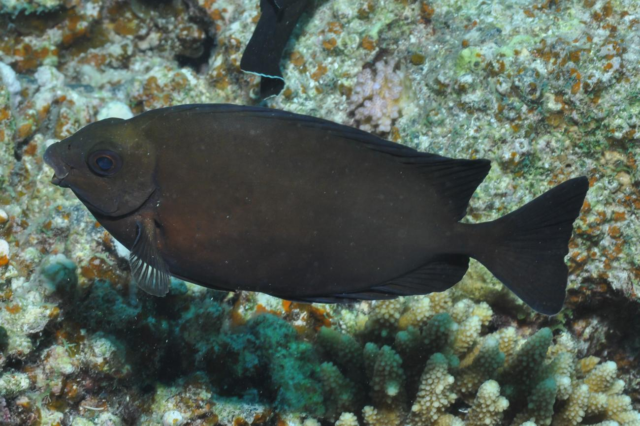Siganus luridus, Red Sea,  Photo: Rick Stuart-Smith