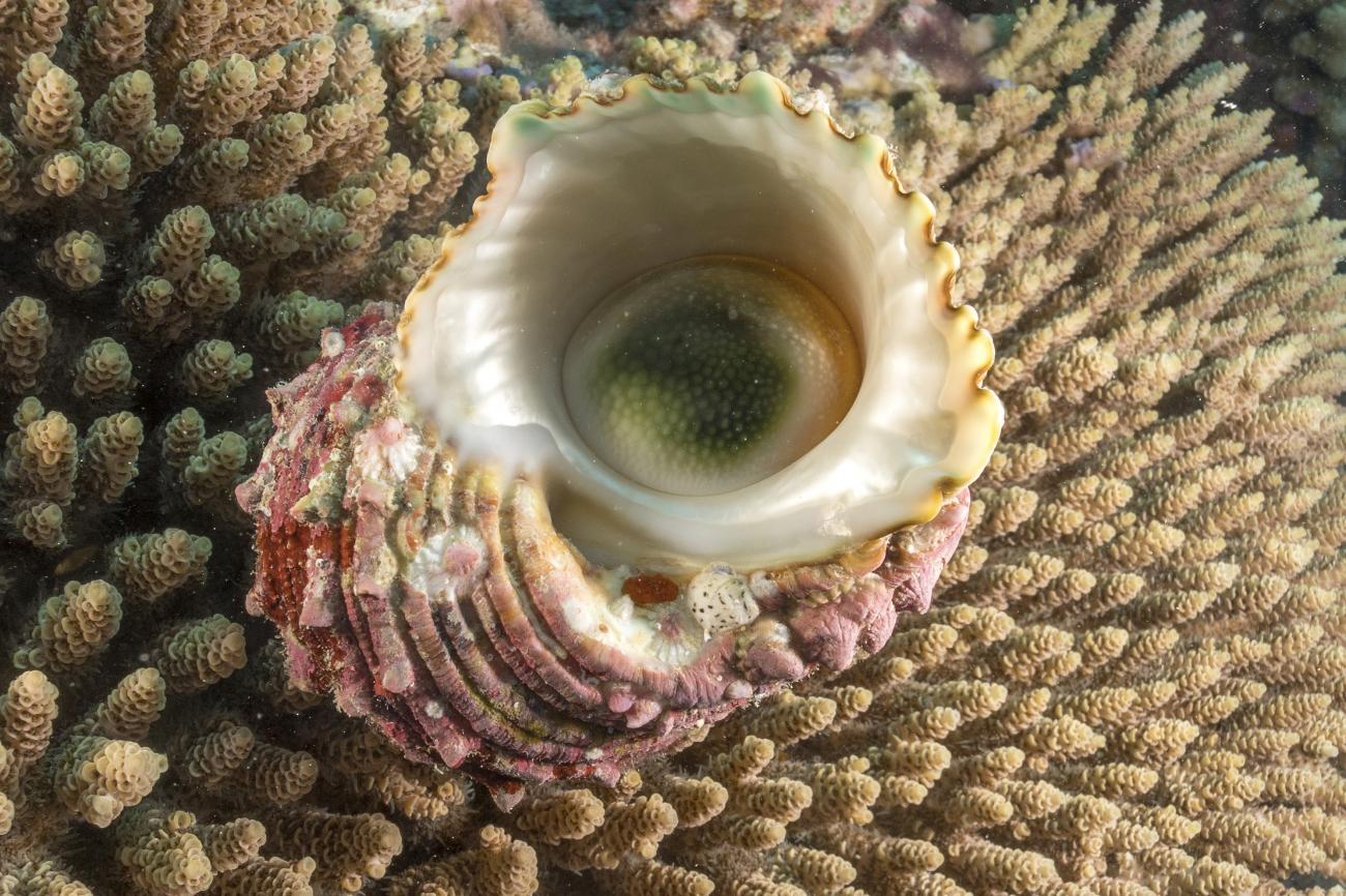 Turbo argyrostomus, Mermaid Reef, NW Australia,  Photo: Andrew Green