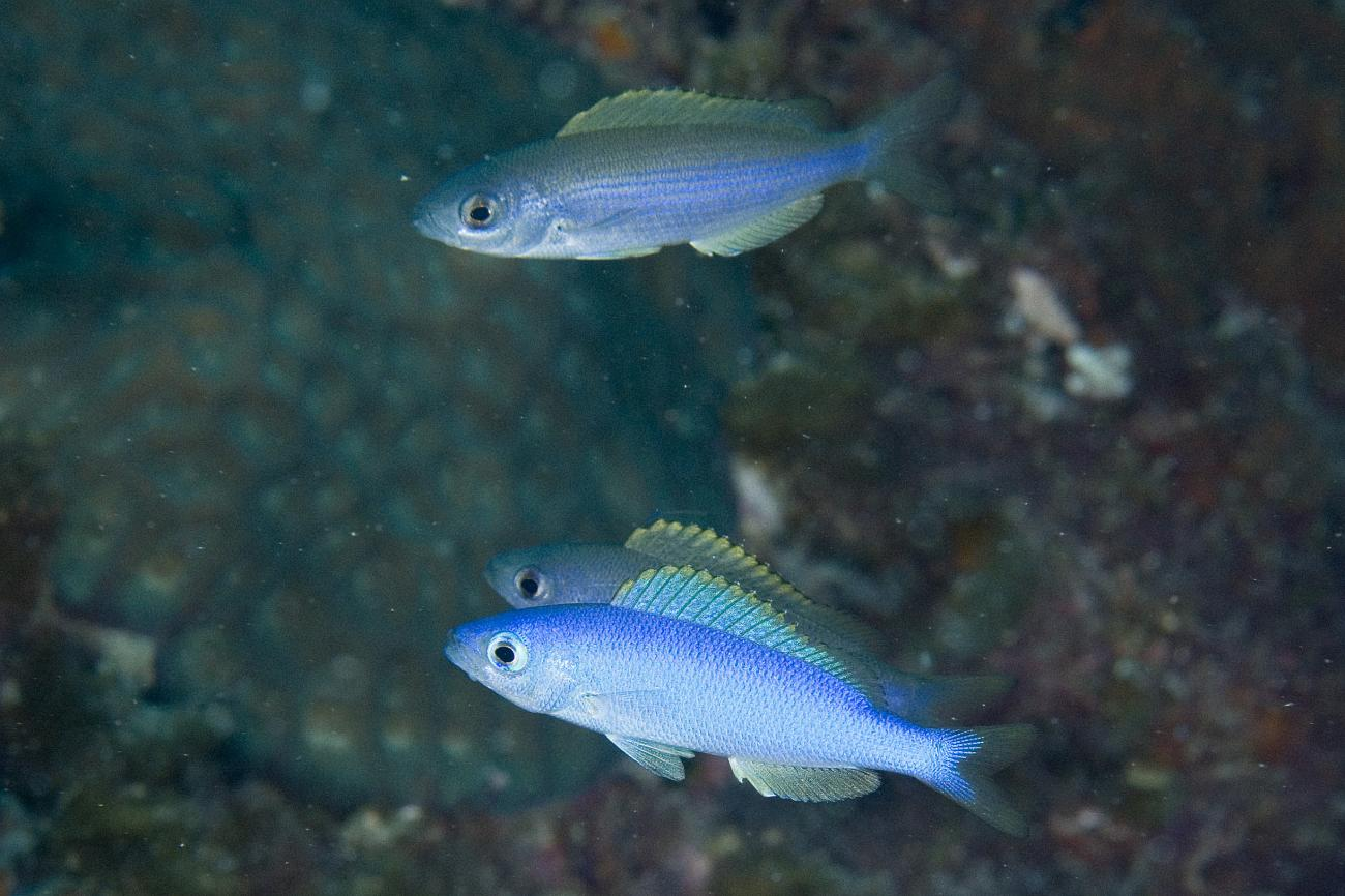 Teixeirichthys jordani, Ruperts Reef, Lord Howe Is, NSW,  Photo: Andrew Green