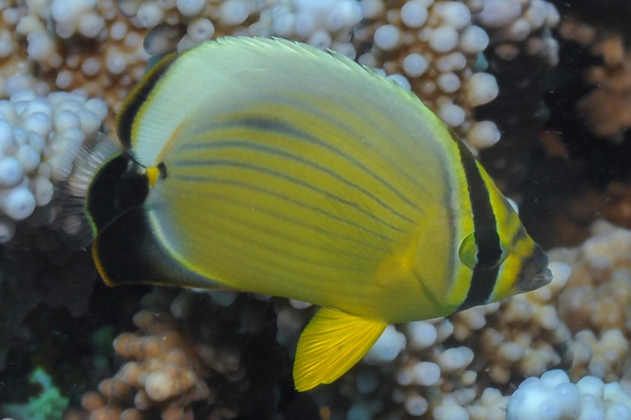 Chaetodon austriacus, Red Sea,  Photo: Rick Stuart-Smith