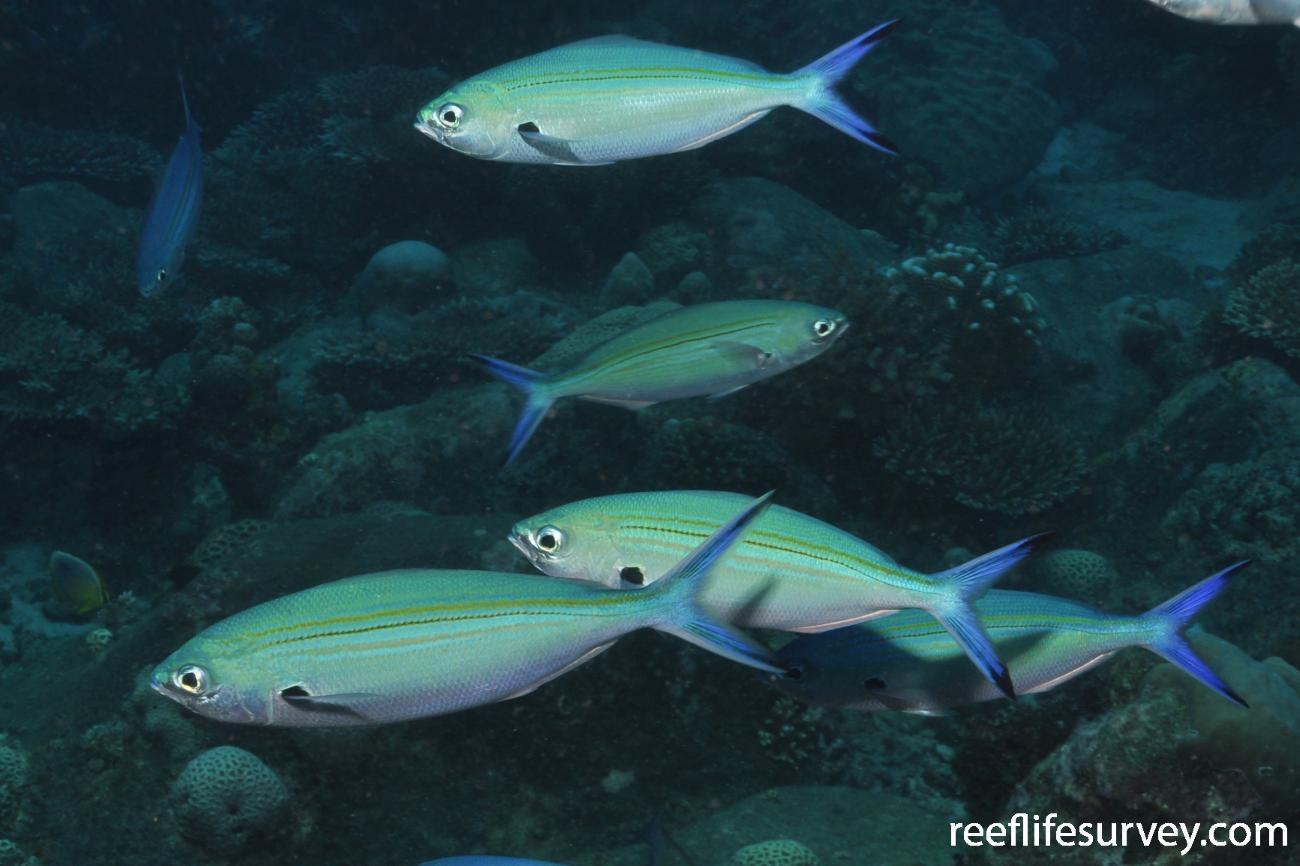 Caesio varilineata, Adult, Seychelles,  Photo: Rick Stuart-Smith