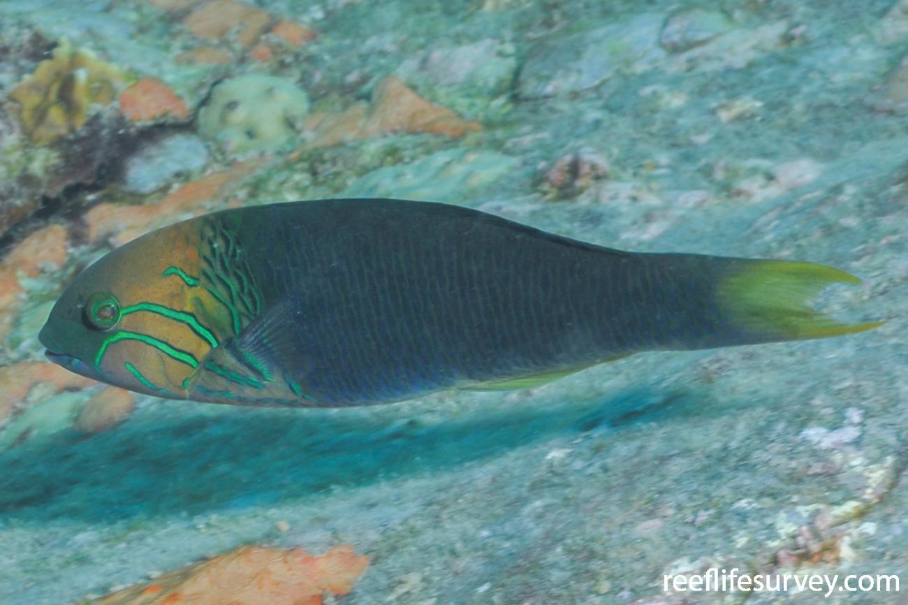 Thalassoma hebraicum, Seychelles,  Photo: Rick Stuart-Smith
