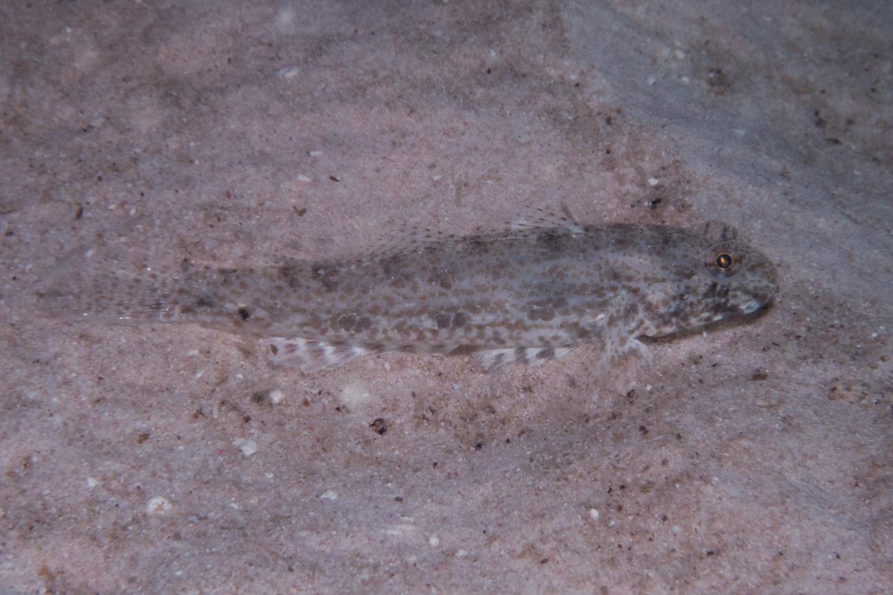 Macrodontogobius wilburi, Ningaloo, WA,  Photo: Rick Stuart-Smith