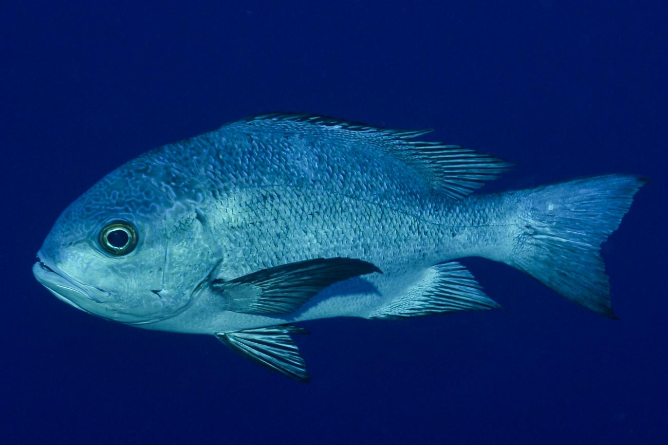 Macolor niger, Adult, Red Sea,  Photo: Rick Stuart-Smith