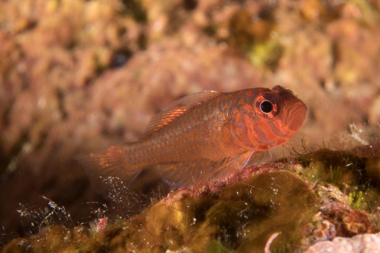 Trimma readerae, Adult, Imperieuse Reef, NW Australia,  Photo: Andrew Green