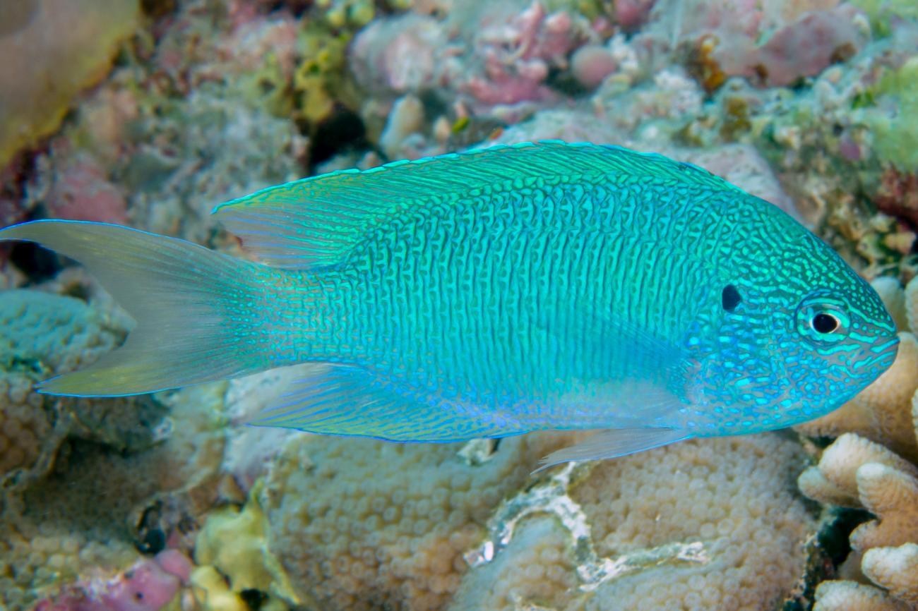 Pomacentrus pavo, Hibernia Reef, NW Australia,  Photo: Rick Stuart-Smith