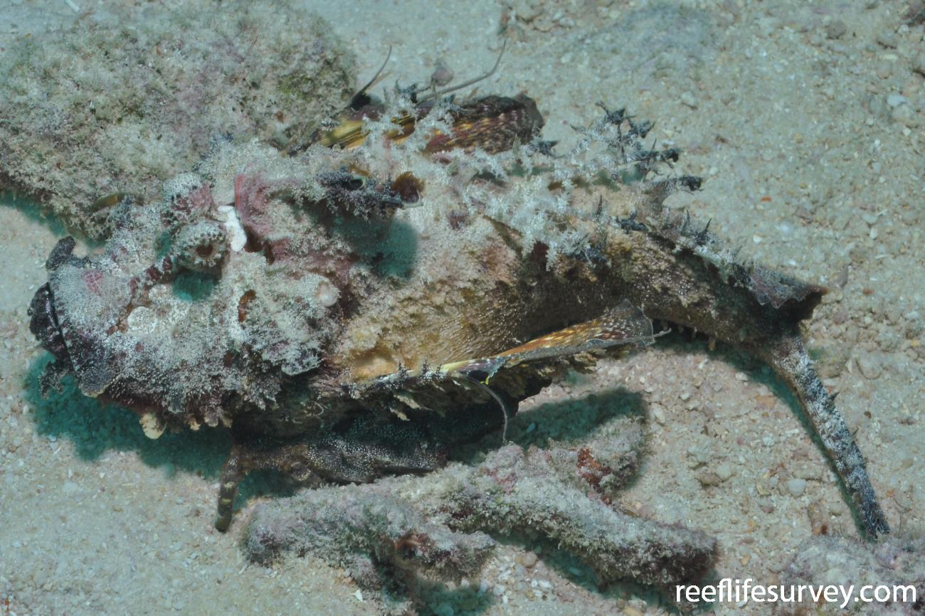 Inimicus filamentosus, Adult, Seychelles,  Photo: Rick Stuart-Smith