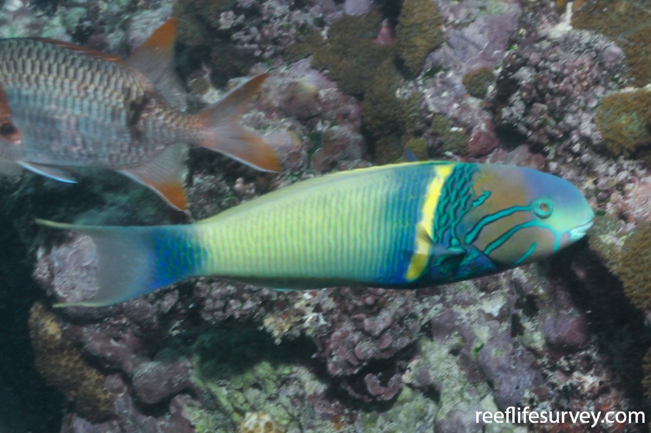 Thalassoma hebraicum, Male, Seychelles,  Photo: Rick Stuart-Smith