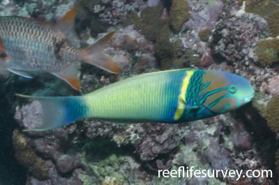 Thalassoma hebraicum: Male, Seychelles,  Photo: Rick Stuart-Smith