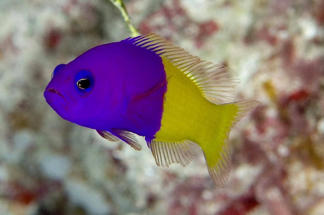 Pictichromis coralensis, Adult, Flinders Reef, Coral Sea,  Photo: Andrew Green