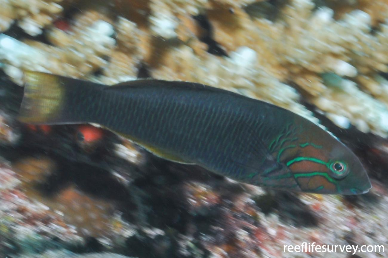 Thalassoma hebraicum, Juvenile, Seychelles,  Photo: Rick Stuart-Smith