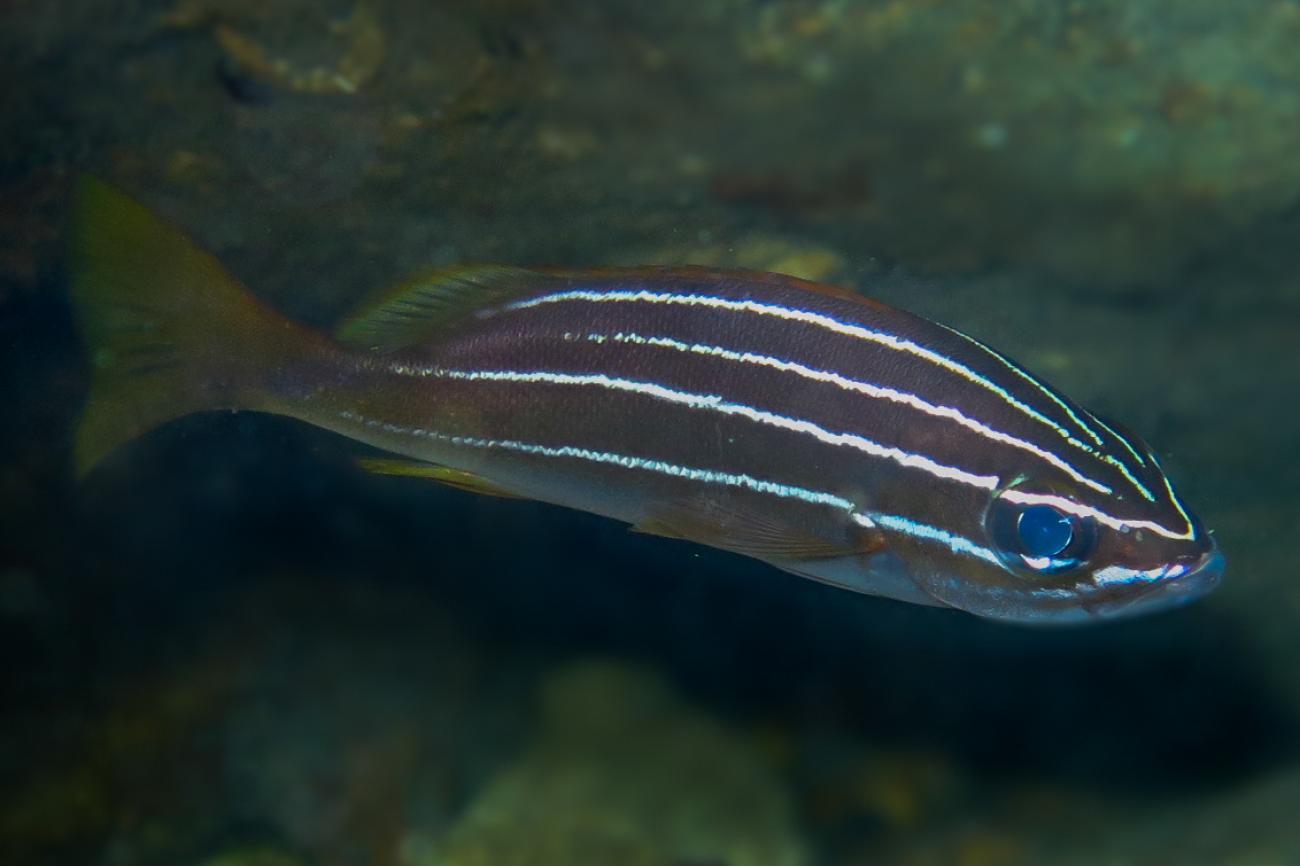 Parapristipoma octolineatum,  Photo: Natali Lazzari