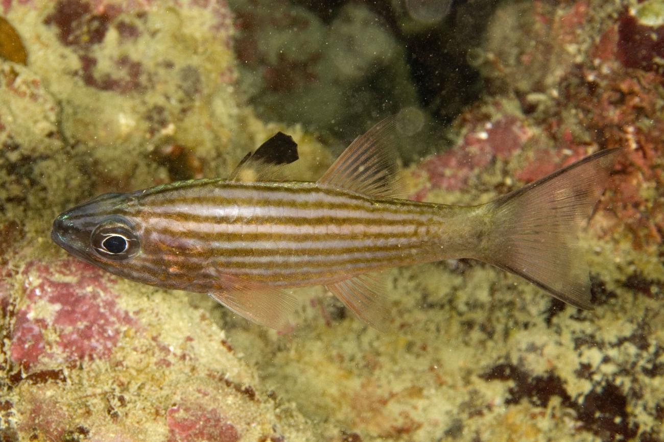 Cheilodipterus alleni, Adult, Raja Ampat, Indonesia,  Photo: Andrew Green