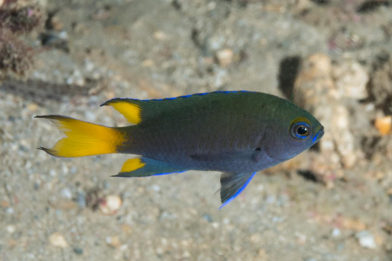 Neopomacentrus bankieri, Great Keppel Is, QLD,  Photo: Rick Stuart-Smith