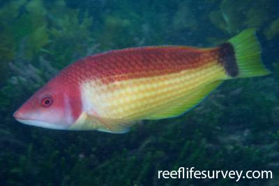 Pseudolabrus miles: Male, Wellington, New Zealand,  Photo: Antonia Cooper