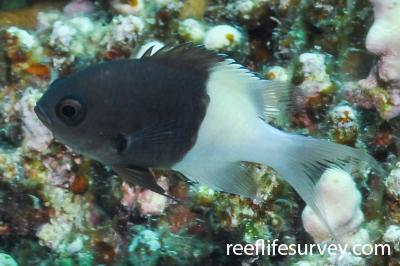 Chromis dimidiata: Red Sea,  Photo: Rick Stuart-Smith