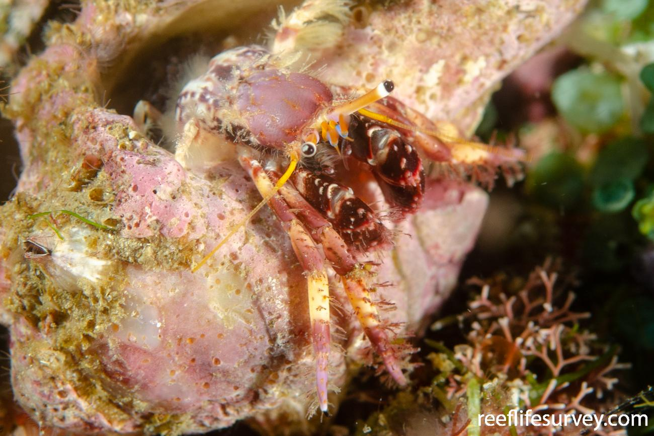 Calcinus spicatus, Nth Solitary Is, NSW,  Photo: Ian Shaw