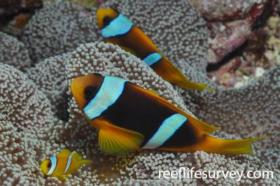 Amphiprion bicinctus: Marsa Alam, Egypt,  Photo: Rick Stuart-Smith