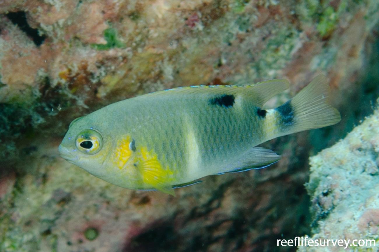 Chrysiptera brownriggii, Serangapatam Reef,  Photo: Ian Shaw