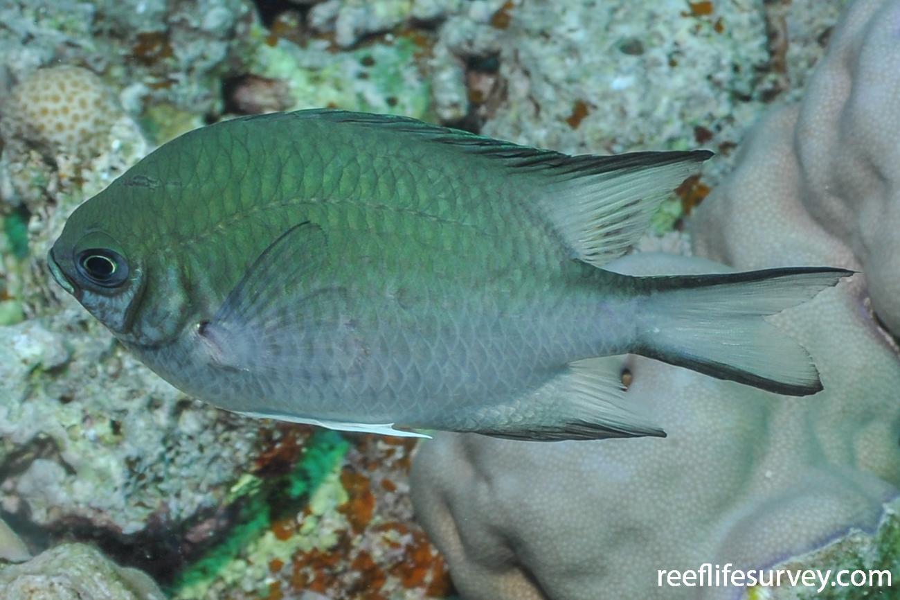 Amblyglyphidodon indicus, Red Sea,  Photo: Rick Stuart-Smith