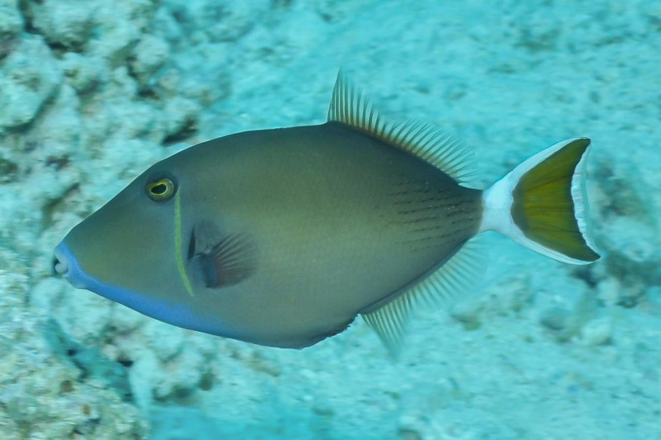 Sufflamen albicaudatum, Red Sea,  Photo: Rick Stuart-Smith