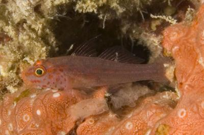Trimma fangi: Adult, Raja Ampat, Indonesia,  Photo: Andrew Green