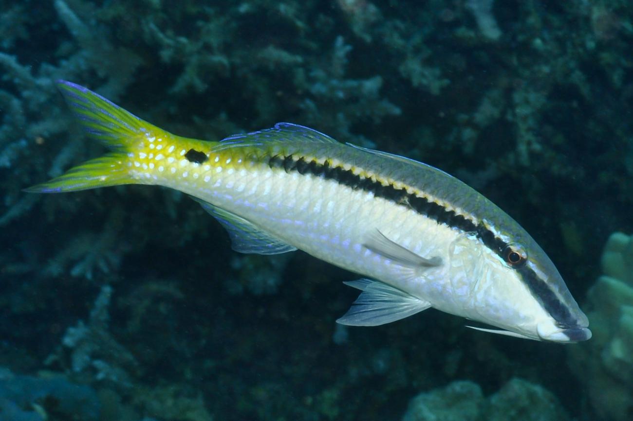 Parupeneus forsskali, Adult, Red Sea,  Photo: Rick Stuart-Smith