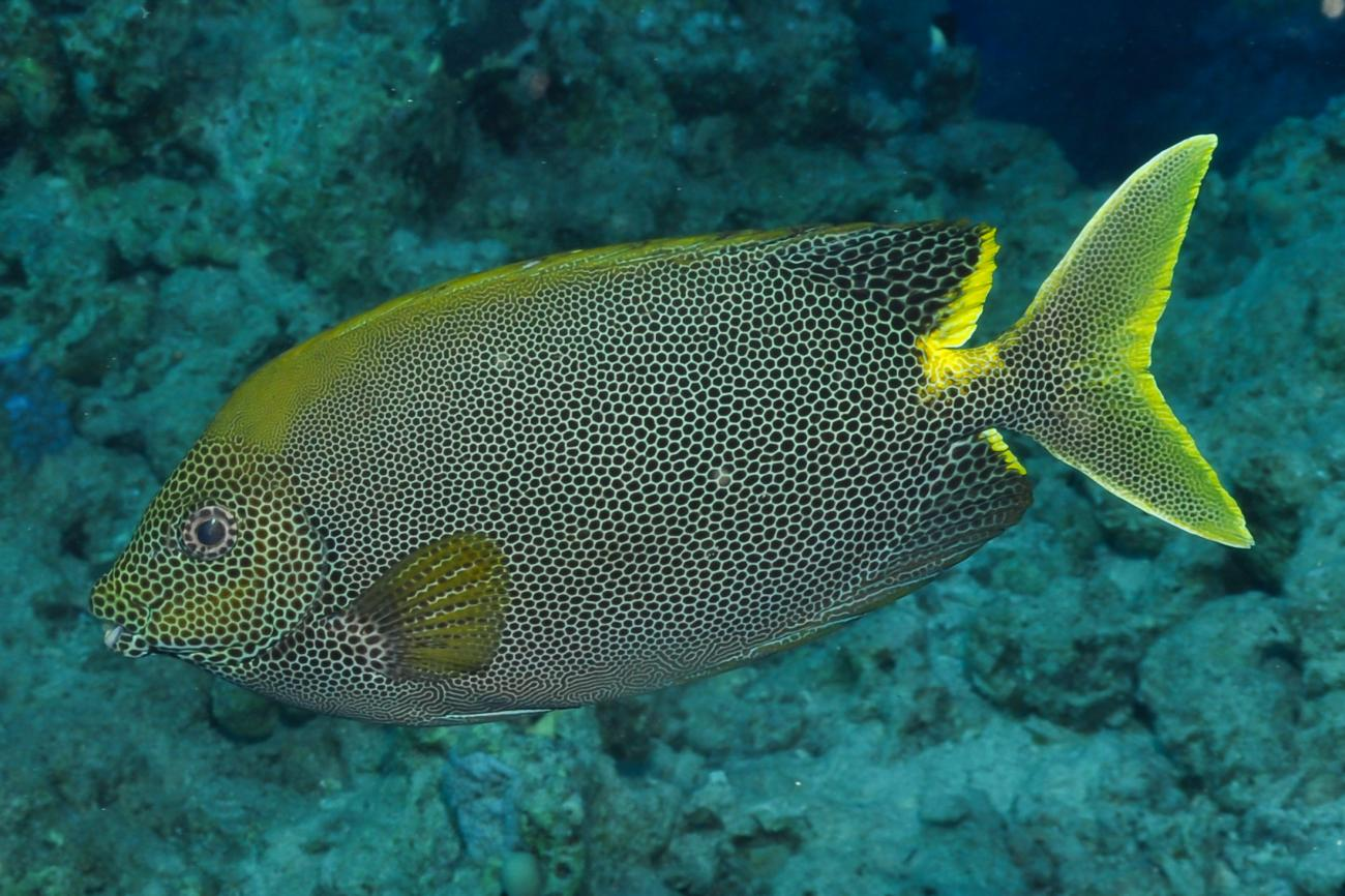 Siganus stellatus, Red Sea,  Photo: Rick Stuart-Smith